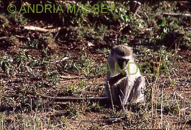 KRUGER NATIONAL PARK SOUTH AFRICA Vervet Monkey
