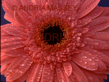 Gerbera Janet with raindrops on the petals