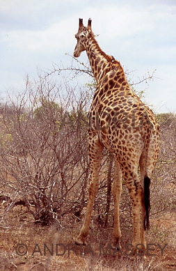KRUGER NATIONAL PARK SOUTH AFRICA Giraffe browsing on acacia