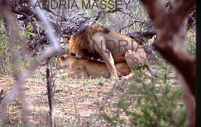 KRUGER NATIONAL PARK SOUTH AFRICA Mating Lions