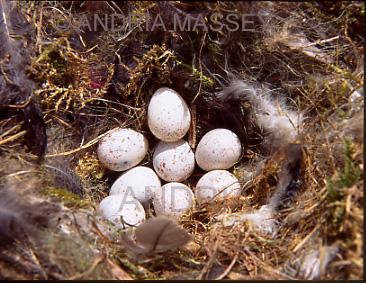 Farnham Surrey Abandoned blue tit eggs (Parus caeruleus) found in a garden nest box
