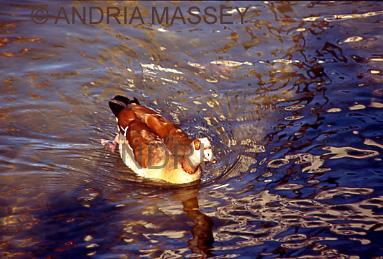 KNYSNA SOUTH AFRICA Egyptian goose in Knysna Lagoon