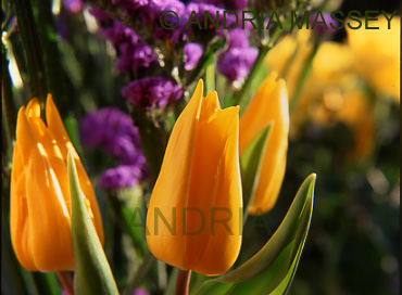 Close up of yellow tulips,yellow roses and limonium