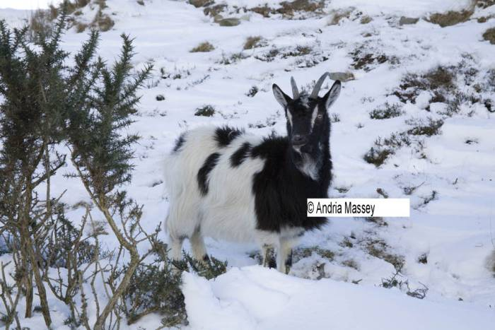 North Wales UK January One of Snowdonia National Park wild goats down off the mountains foraging for food