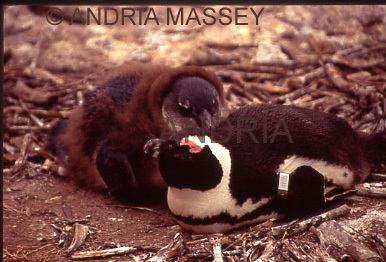 THE BOULDERS SOUTH AFRICA African penguin mother and baby