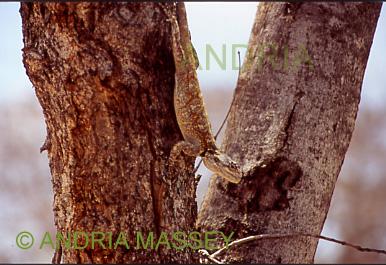 KRUGER NATIONAL PARK SOUTH AFRICA Karoo Flat Gecko