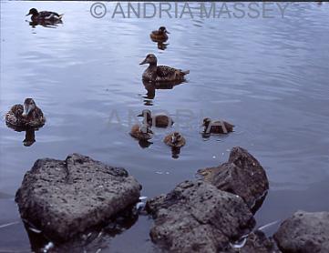 Reykjavik Iceland Eider family (Somateria mollissima) on Tjorn Lake where 40 species breed