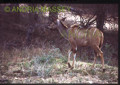 KRUGER NATIONAL PARK SOUTH AFRICA Female Kudu