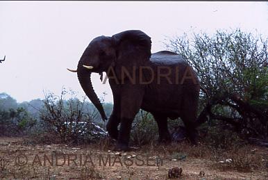 KRUGER NATIONAL PARK SOUTH AFRICA Matriach Elephant