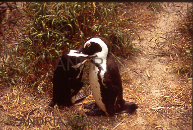 THE BOULDERS SOUTH AFRICA Friendly African Penguins