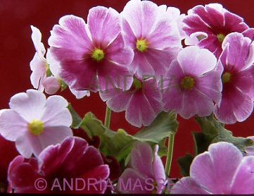 Primula Obconica with a red background
