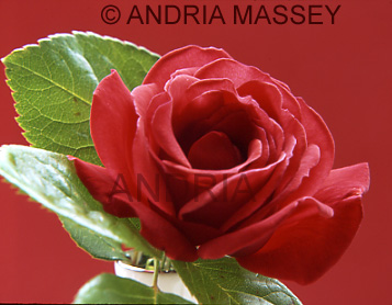 Close up of red rose with red background