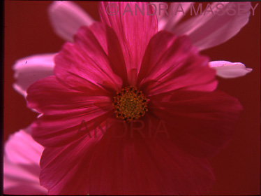 Red Cosmos Bipannatus with red background