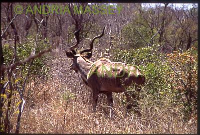 KRUGER NATIONAL PARK SOUTH AFRICA Male Kudu