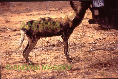 HOEDSPRUIT SOUTH AFRICA Wild Dog