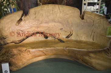 WAIHARARA NORTH ISLAND NEW ZEALAND May A huge swamp Kauri log dating back some 50,000 years carved into a beautiful couch