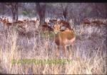 KRUGER NATIONAL PARK SOUTH AFRICA Impala