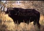 KRUGER NATIONAL PARK SOUTH AFRICA Male Buffalo