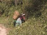 DHULIKHEL VALLEY NEPAL November A Nepalese woman collecting leaves in a wicker basket on her back