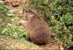 CAPE TOWN SOUTH AFRICA Rock Dassie - an agile climber found in rocky areas
