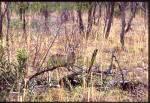 KRUGER NATIONAL PARK SOUTH AFRICA Damara Dik Dik
