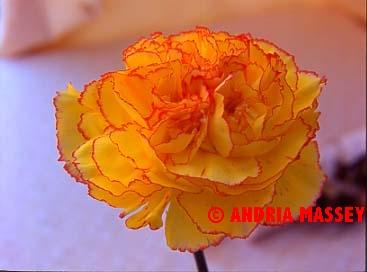 Dianthus Ivonne  Format: Medium
