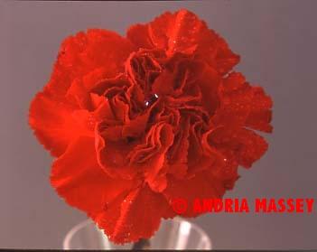 Dianthus America  Format: Medium