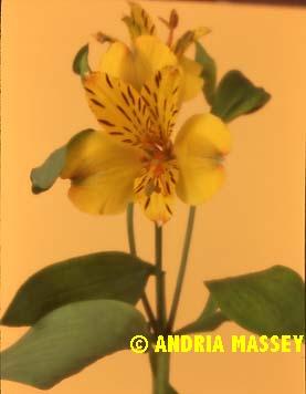 Alstroemeria Jamaica  Format: Medium