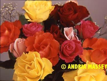 Mixed coloured roses  Format: Medium