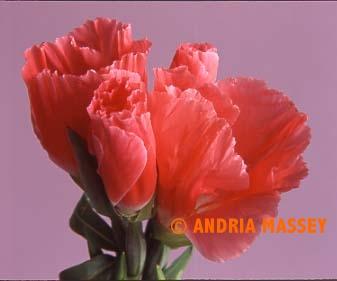 Pink Godetia  Format: Medium