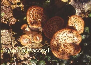 Agaricus augustus Mushroom  Format: 35mm