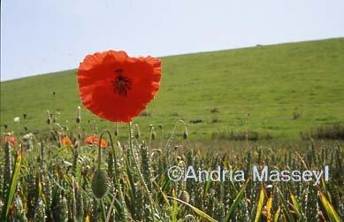 Common Poppy in Wheatfield  Format: 35mm