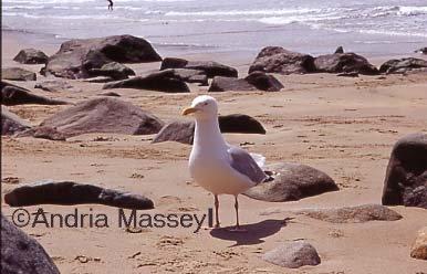 Herring Gull  Format: 35mm