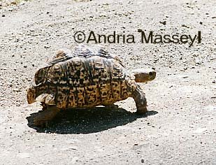 Leopard Tortoise Kruger National Park South Africa  Format: 35mm