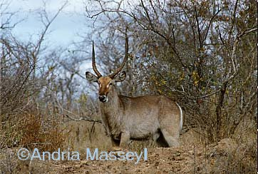 Waterbuck - Kruger National Park South Africa  Format: Print