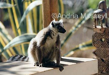 Ring Tailed Lemur - Madagascar  Format: Print