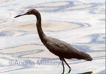 Purple Heron � Belize  Format: Print