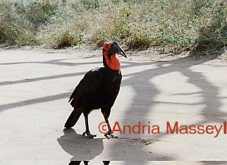 Ground Hornbill - Kruger National Park South Africa  Format: Print