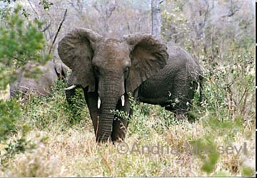 Elephant - Kruger National Park South Africa  Format: Print