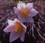 Spring Pasque Flower  Format: Medium