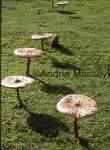 Parasol Mushroom  Format: 35mm