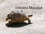 Leopard Tortoise Kruger National Park South Africa  Format: 35mm