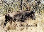 Blue Wildebeest - Kruger National Park South Africa  Format: Print