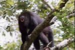 Howler Monkey � Belize  Format: Print