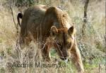 Lioness - Kruger National Park South Africa  Format: Print