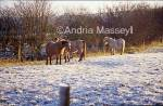 Horses feeding in a frosty field - Blore Staffordshire  Format: 35mm
